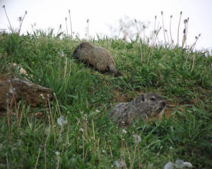 Baby Ground Hogs